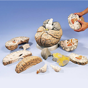 [3B] 대형뇌모형 (VH409) Giant Brain, 2.5 times full-size, 14 part